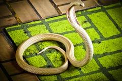 Kobra rozprzestrzenia kapiszon zdjęcia royalty free