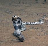 Kobra wąż Zdjęcie Royalty Free