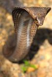 Kobra wąż w India Zdjęcia Stock
