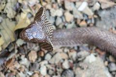 Kobra wąż w India Zdjęcie Royalty Free