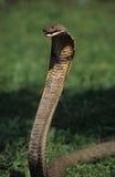kobrakonung arkivfoto