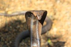 Kobraschlange in Indien stockbild