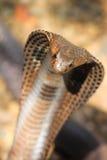 Kobraschlange in Indien Lizenzfreie Stockfotografie