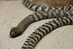 Kobry Młodzi węże fotografia stock