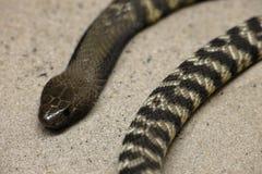 Kobry Młodzi węże obraz stock
