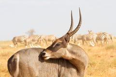 Kobus defassa - Tsavo, Kenya Royalty Free Stock Image