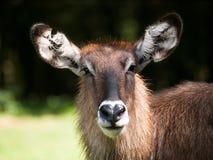 Kobus ellipsiprymnus defassa - head of Ringed waterbuck. Portrait of Defassa waterbuck antelope - Kobus ellipsiprymnus defassa stock image