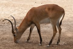 Kobus leche. Is a african mammal antelope stock image