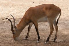 Kobus leche Stock Image
