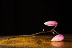Kobus magnolii gałąź opiera nad odbija płaski pełnym kropelki Fotografia Stock