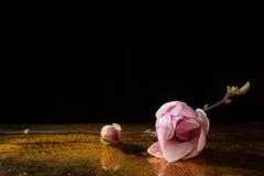 Kobus magnolii gałąź z kwiatem i pączkiem na złotym floo Zdjęcia Stock