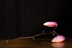Kobus magnolii gałąź zakrywająca z kropelkami odpoczywa na odbija samolocie Obrazy Royalty Free