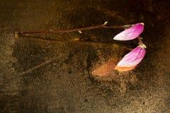 Kobus magnolii pączki zakrywający z kropelkami umieszczać na starym lustrze Zdjęcie Stock