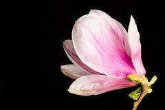 Kobus magnoliowy kwiat na czarnym tle Zdjęcie Stock