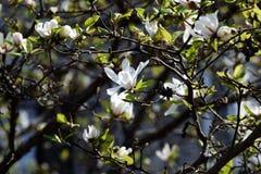 Free Kobushi Magnolia Royalty Free Stock Images - 89386609