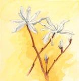 Kobushi magnolia Magnolia kobus flowers Royalty Free Stock Photos