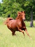 Kobylaka konia bieg Zdjęcie Stock