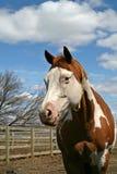 kobylaka tobiano koń. Zdjęcia Stock