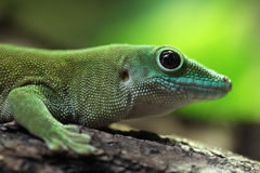 Koch's giant day gecko (Phelsuma madagascariensis kochi). Koch's giant day gecko (Phelsuma madagascariensis kochi), also known as the Madagascar day gecko Royalty Free Stock Image