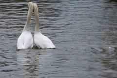 Kocha ptaki opiera na each inny na rzece Obraz Stock