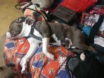 Kochający gnuśny pies fotografia stock