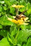 Kochający nektar Obraz Royalty Free