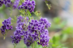 Kochana Purpura Kwitnąca Obraz Royalty Free