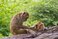 kochanek małpa Zdjęcie Royalty Free