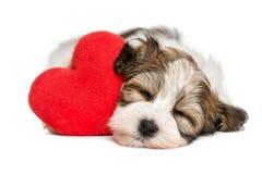 Kochanka Havanese szczeniak marzy z czerwonym sercem Fotografia Royalty Free