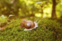 Kochankowie gronowi ślimaczki w mech w lasowej haliźnie Zdjęcia Stock