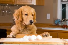 Kochen des Hundes Lizenzfreies Stockfoto