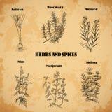 Kochen von Kräutern und von Gewürzen Rosemary, Safran, Senf, Minze, Majoran, Melisse Retro- Hand gezeichnete Vektorillustration Stockfotografie