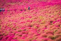 Kochia bij Hitachi-Kustpark in Ibaraki, Japan stock afbeeldingen
