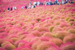 Kochia bij Hitachi-Kustpark in Ibaraki, Japan royalty-vrije stock foto