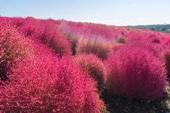 Kochia and cosmos filed Hitachi Ibaraki Japan Stock Images