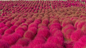 Kochia in de herfstseizoen Stock Fotografie