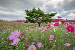 Kochia en de kosmos bloeien met iconische pijnboomboom in de Kustpark van Kokuei Hitachi op 23 Oktober, 2018 Het Park van de Hita royalty-vrije stock afbeeldingen