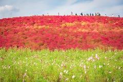 Kochia en kosmosstruik bij Hitachi-Kustpark in de herfst in Ibaraki, Japan stock foto's
