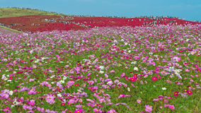 Kochia and flower field at Hitachi seaside park. Ibaraki, Japan Royalty Free Stock Photography