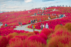 Kochia in Kokuei Hitachi Seaside Park - Hitachinaka, Ibaraki Stock Photography