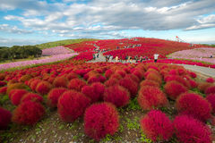 Kochia in Kokuei Hitachi Seaside Park - Hitachinaka, Ibaraki Royalty Free Stock Photography