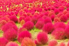 Kochia kwiatów ogród Zdjęcia Royalty Free