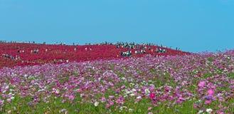 Kochia- och blommafältet på den Hitachi sjösidan parkerar Royaltyfria Bilder