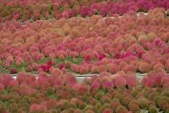 Kochia Scoparia Grass Stock Photography