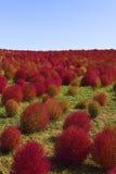 Kochia Scoparia Grass Royalty Free Stock Image