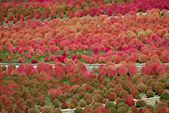 Kochia Scoparia Grass Royalty Free Stock Photography