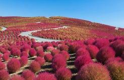 Kochias hill in autumn season Stock Photos