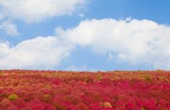 Kochias hill in autumn season Royalty Free Stock Photo