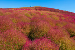 Kochias hill in autumn season at Hitachi seaside park Stock Photography