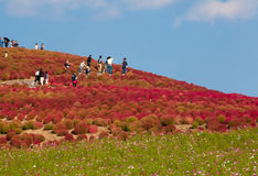 Kochias hill in autumn season at Hitachi seaside park Royalty Free Stock Image